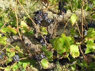 RB-JM Home St Cecile -RB vines (25)