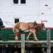 Horse drawn drays