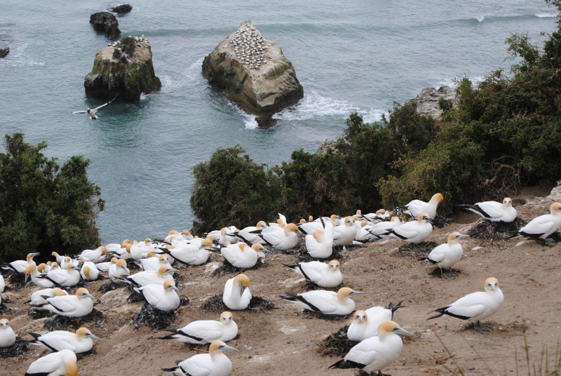 Cape Kidnappers (98)