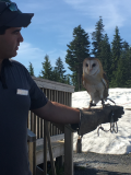 Grouse Mtn owl