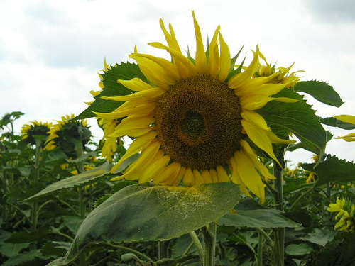 Sunflower field -- Basel, Switzerland